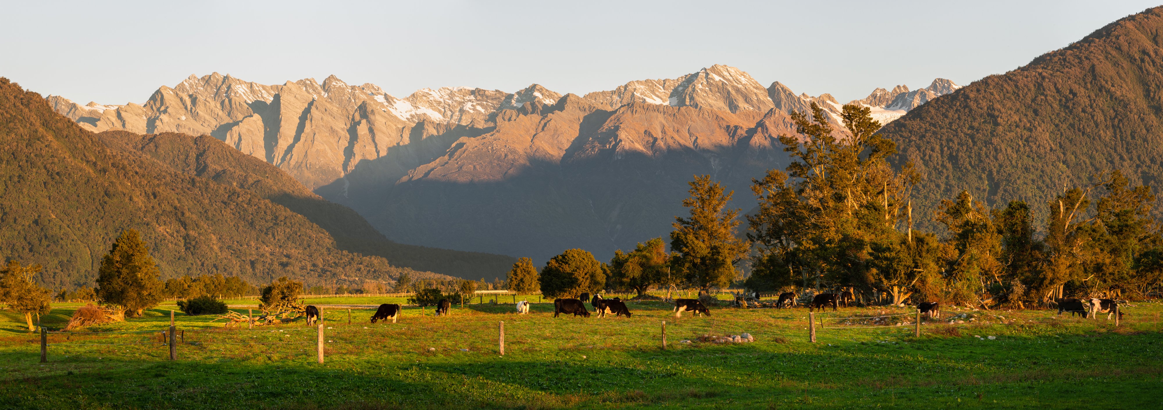 Cattle are seen against the background of the alps
