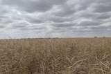 a field of white, dry and damaged canola