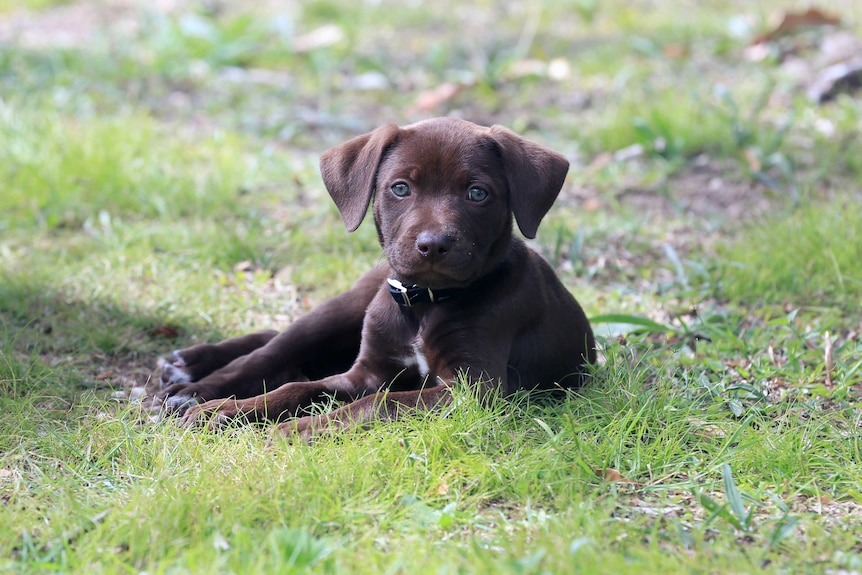 A chocolate puppy lies down in grass.