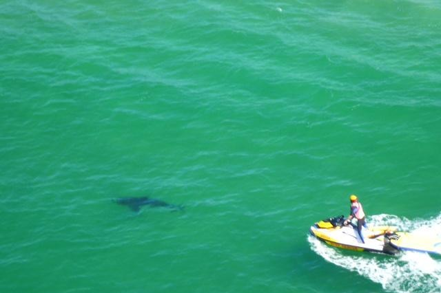 Shark off Clarkes Beach