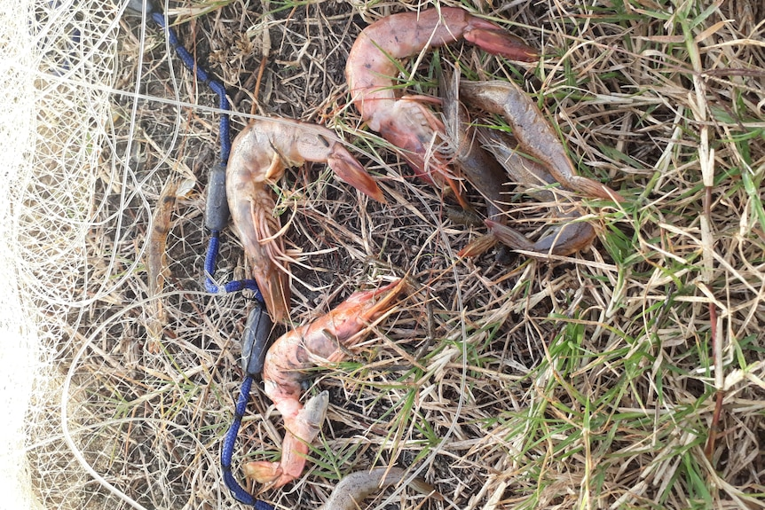 Dead prawns lying on the grass next to a net.