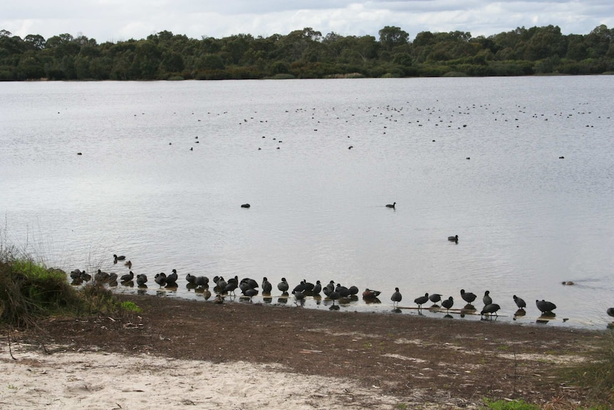 Birds gather on the shore of Bibra Lake in Perth.