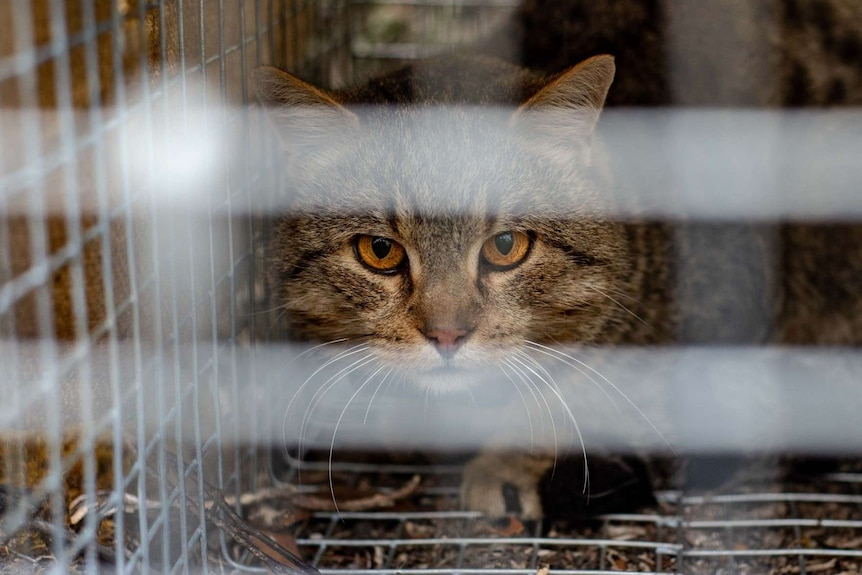 close up of a tabby cat's face through the bars of a cage