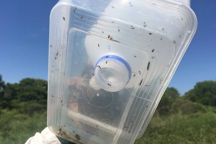 Flea beetles are one of Mimosa's natural enemies from central America, Mexico and Brazil brought to the NT by CSRIO as part of their biological control program.