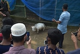 People take photos of a tiny little white cow with their phones.