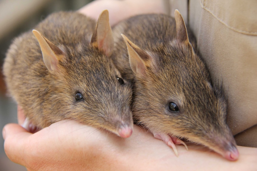 Two eastern Barred Bandicoots being held in humans hands