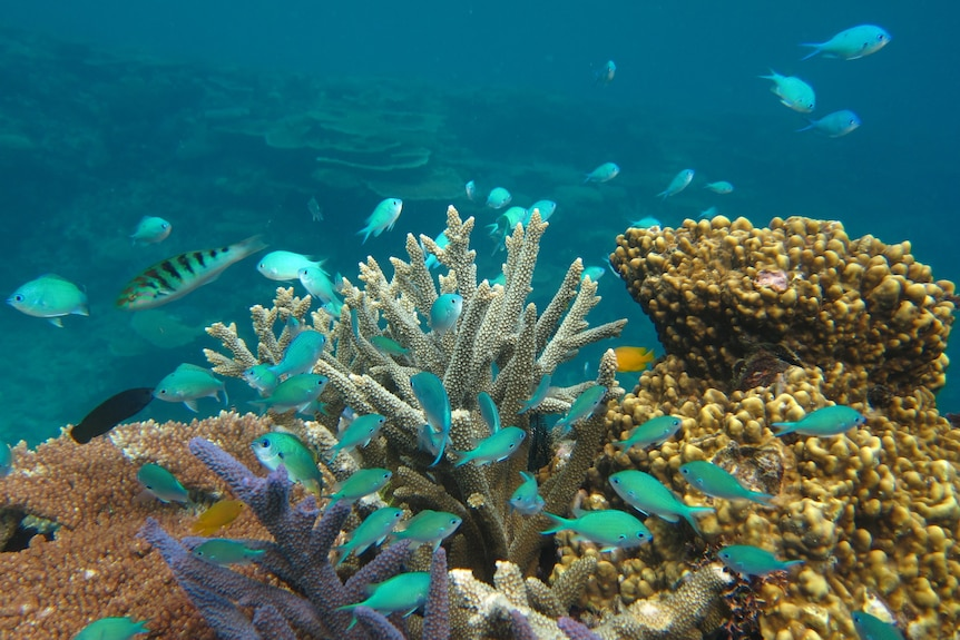 A swarm of blue fish, coral is behind them.