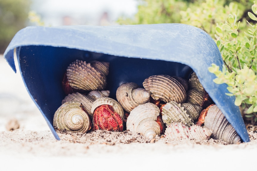 A hermit crab takes shelter in a discarded plastic container on Henderson Island