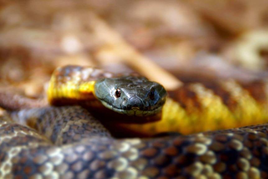 A tiger snake