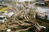 The popular fig tree on Musgrave Road fell on Saturday morning.