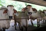 Australian cattle standing in a pen in a feedlot in Indonesia.