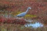 A grey coloured bird among red wetlands.