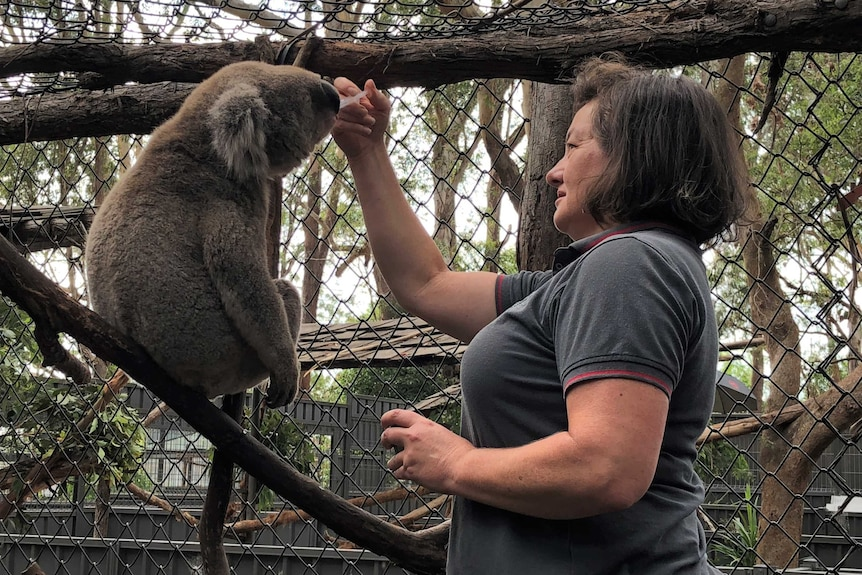 A woman feeds a koala with her hand in an enclosure at an animal sanctuary.
