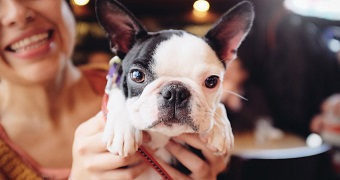 A French bulldog being held up to a camera by a pair of hands for a close up picture.