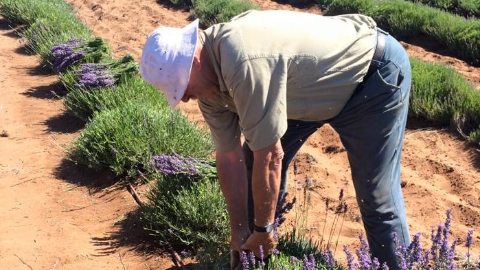 Lavender grower Mario Centofanti tending to his lavender plants in the Riverland