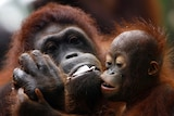 The company says its plans to log forest areas around Bukit Tigapuluh will actually help the orangutans. (File photo)