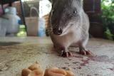 Backyard quenda investigates some nuts