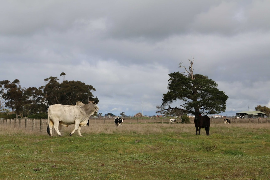 A large Brahman steer with other cattle in a paddock.