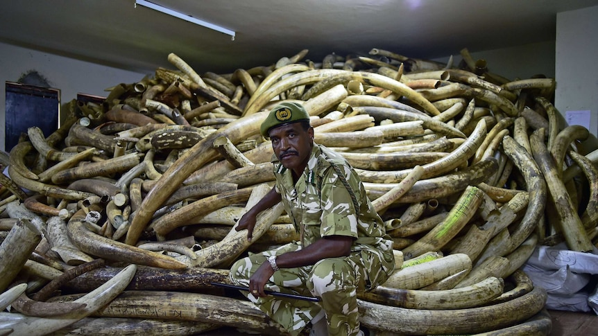 Kenya Wildlife Services Director General, Kitili Mbathi poses in front of a huge pile of ivory.