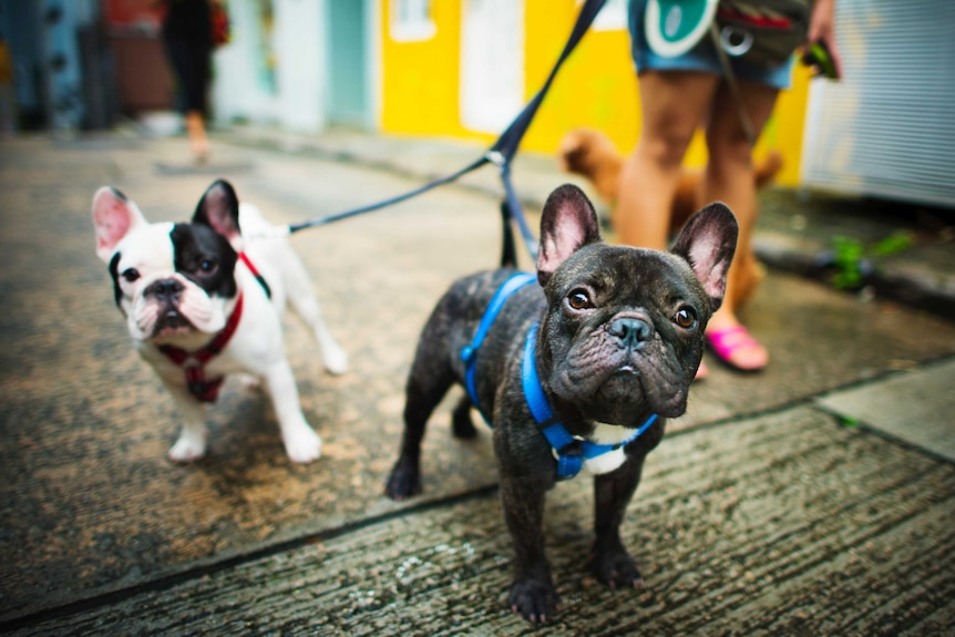 Two French bull dogs on their leads for a story about whether you should have a dog in an apartment.