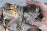 cane toads are expected to hit Derby in two to three years