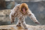 A small monkey covered in ice is captured walking