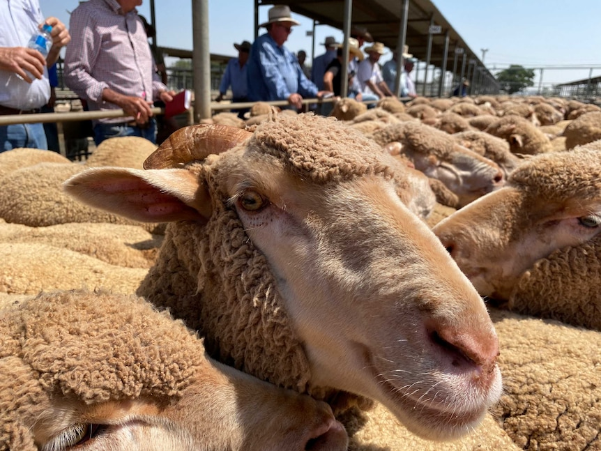 A Merino wether sheep with horns in the foreground with men looking at the pen of wethers being sold.