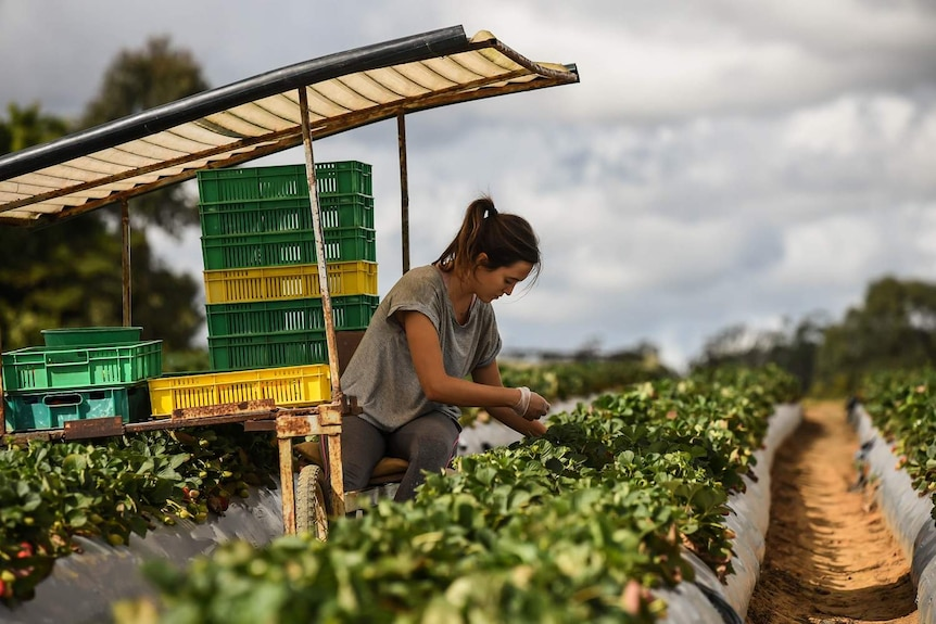 Woman working on a strawberry farm