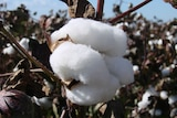 Close up of white fluffy cotton in a field