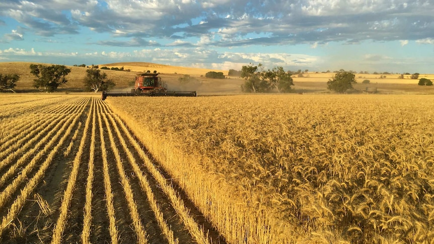 A red header machine harvesting a paddock of golden barley, with low lying hills in the background
