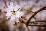 Pollinating almond tree flowers