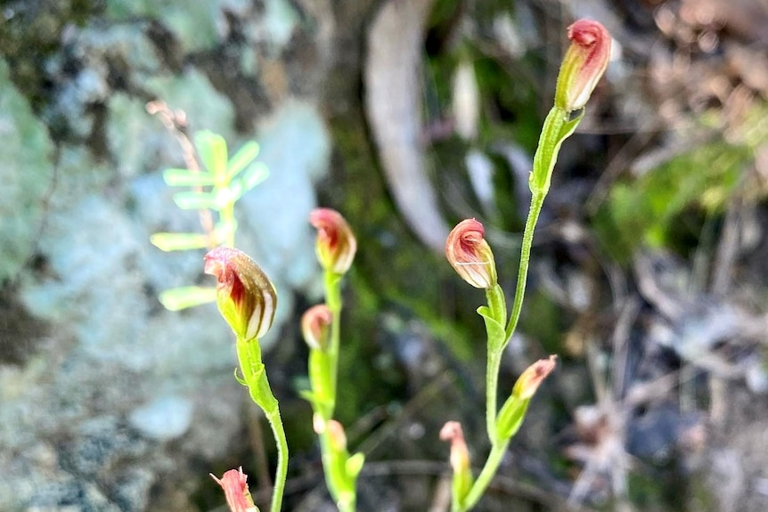 Green stemmed orchid with pinkish/red flowers.