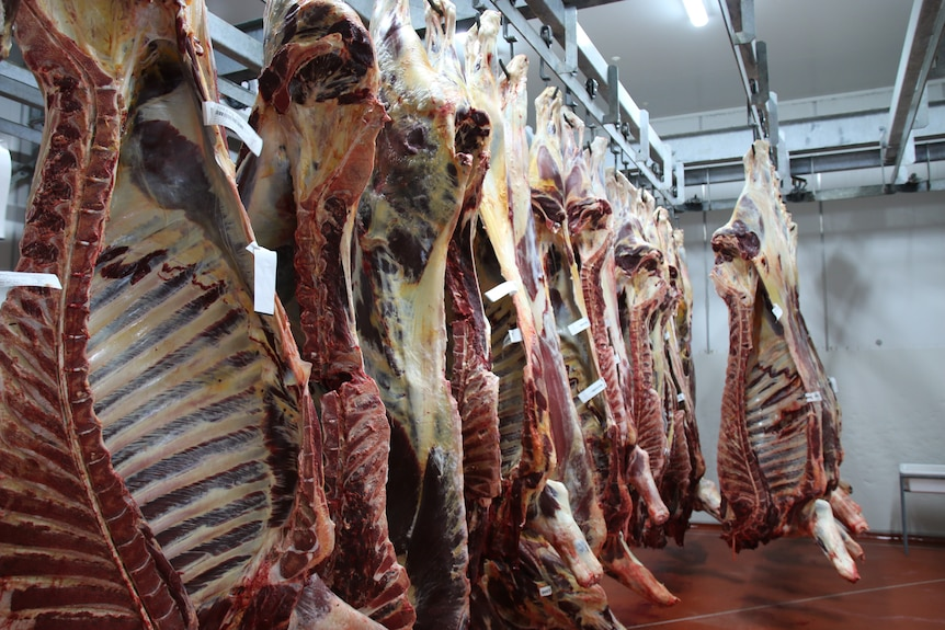 a number of beef carcasses hanging up in a cool room.
