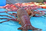 A large lobster on a trawler.