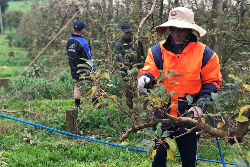 Workers pruning apple trees in an orchard