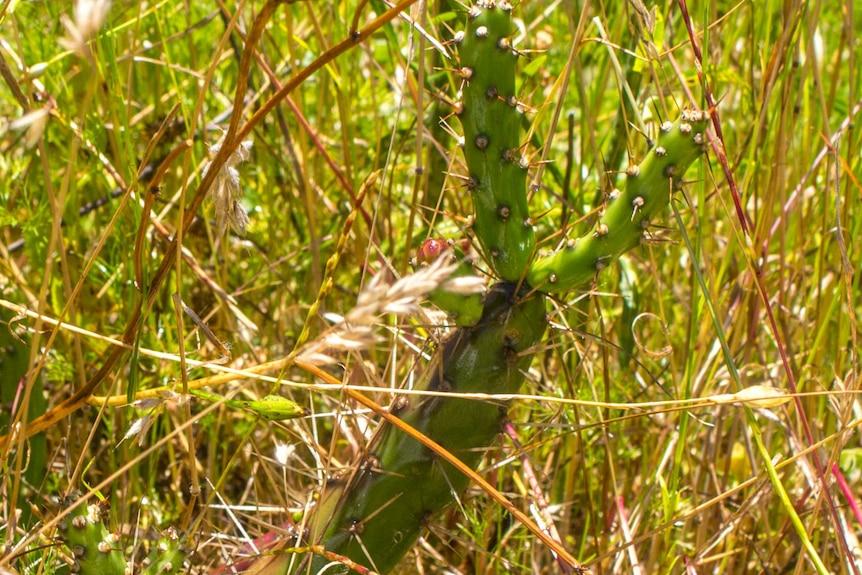 Tiger Pear in paddock