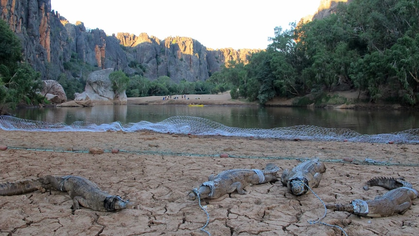 Crocodiles secured before health checks at Windjana Gorge, 300km east of Broome in WA