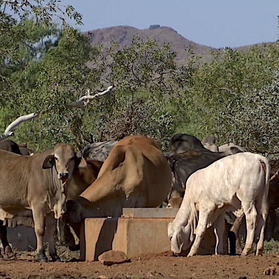 Five or six cattle drink at an outback water trough with mountains in the background