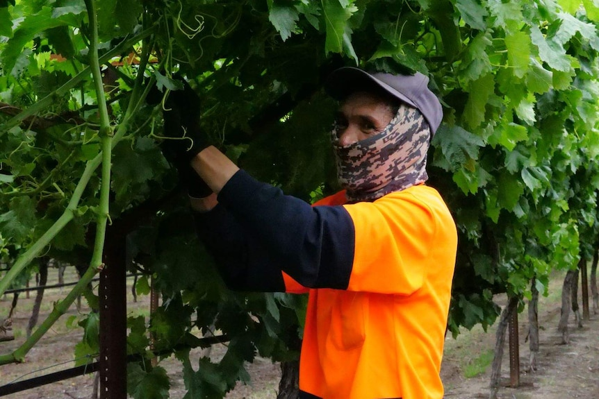 A worker picks grapes at a WA vineyard.