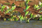 green and yellow budgies with wings open and tail touching murky water
