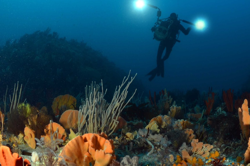 Photograph of underwater sponges from the bottom, looking up at a diver holding lights.