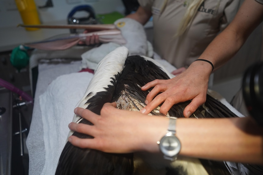 A doctor assesses wounds sustained by a pelican