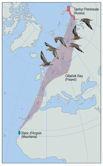 Map showing the migratory path of the red knot from Siberia to West Africa