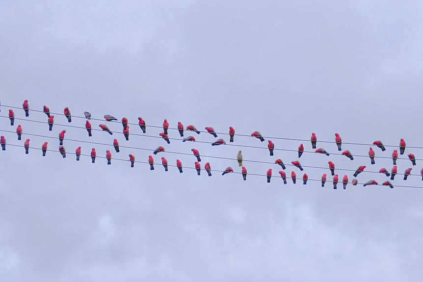 A flock of galahs sits on power lines in NSW.