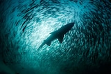The view looking up at a school of fish surrounding a silhouetted shark.