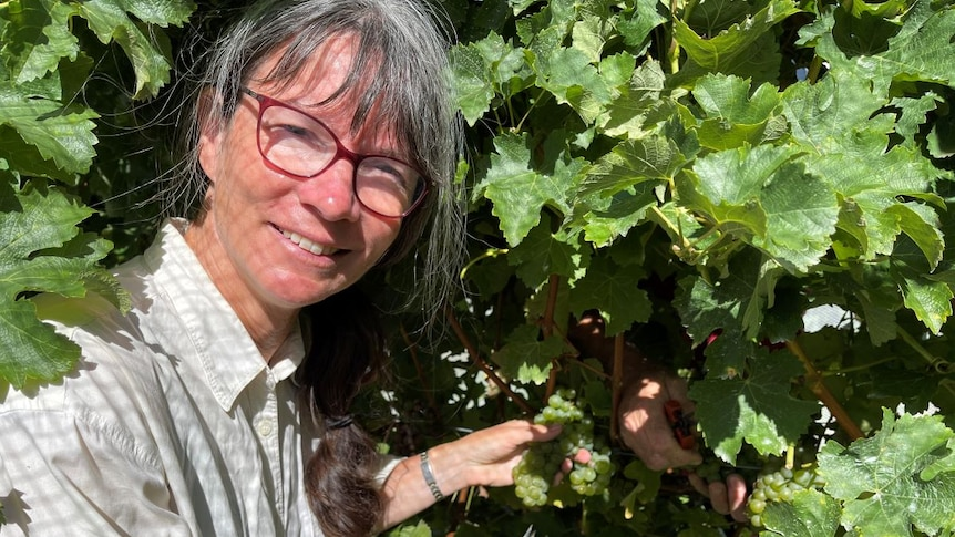 A lady cutting grape vines.