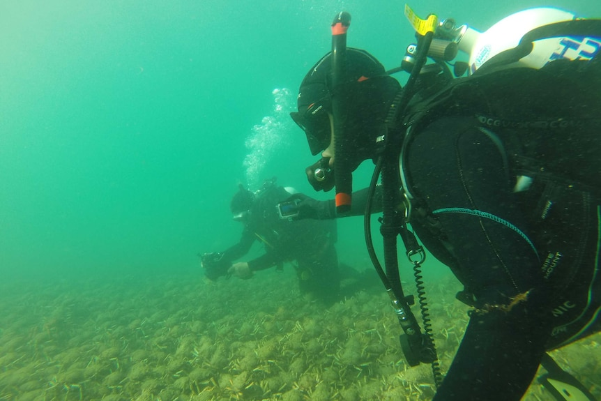 Researchers Pang Quong and Sheree Marris swim in wetsuits while thousands of giant spider crabs scuttle underneath them.