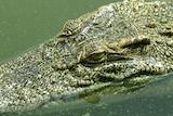 Ancestors traced: The fossils show modern crocodiles originated in Queensland.