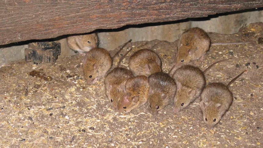 Farmers pin hopes on double strength bait to overcome devastating mouse plague