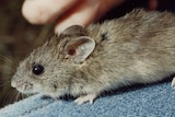 A hand holds a mouse. It has round ears and a round body.